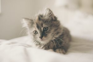 Fluffy tabby kitten
